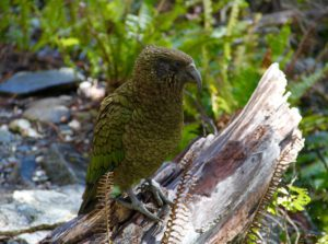 new-zealand-water-journey-kea